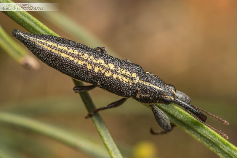 Skinny Weevil