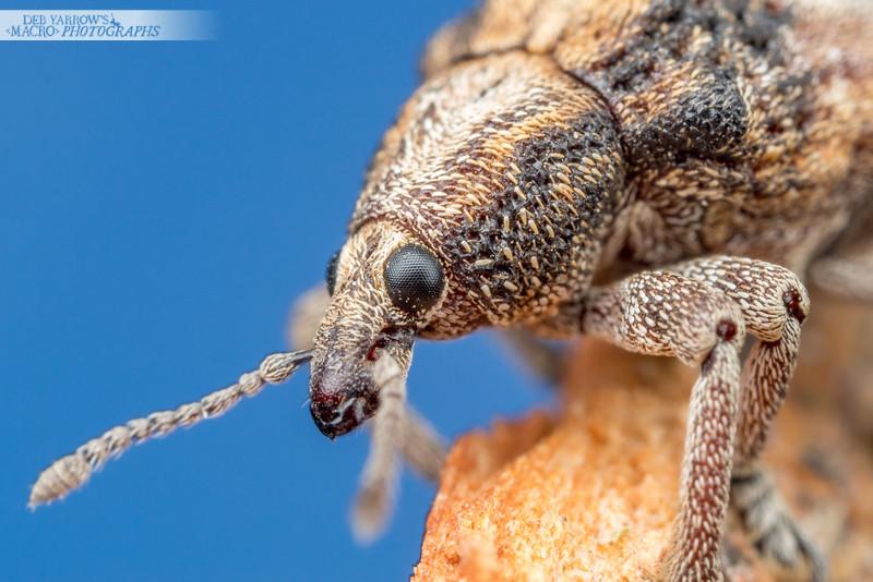 Snub Nosed Weevil
