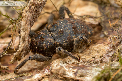 Black Weevil