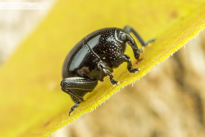 Round Eye Weevil