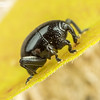 Round Eye Weevil