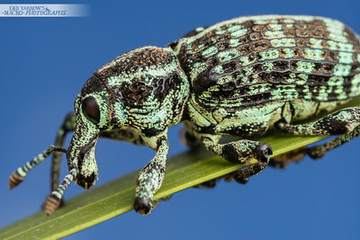 Botany Bay Diamond Weevil