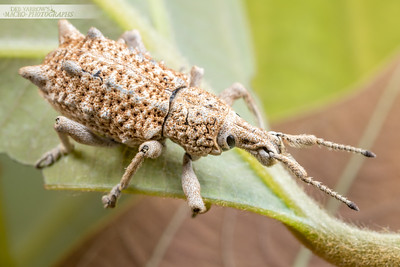 White Weevil