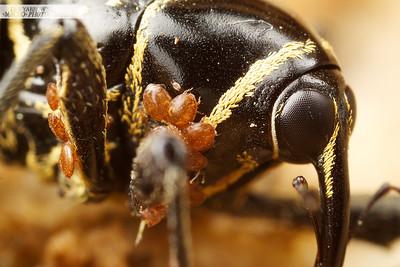 Rainforest Weevil - Enteles vigorsi