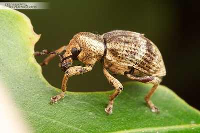 White-headed Weevil