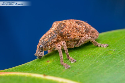 Blue Sky Weevil