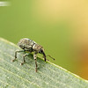 Tiny Green Weevil