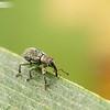 Tiny Green Weevil