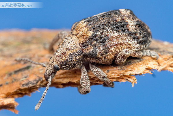 Snub Nosed Weevil