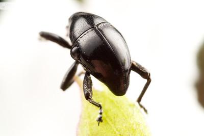 Trigonopterus Weevil