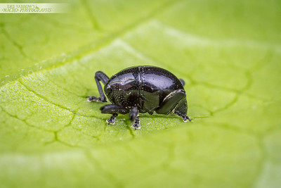 Black Round Weevil