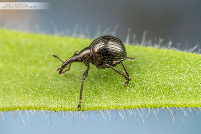 Bottlebrush Weevil