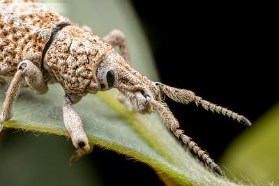 White Weevil
