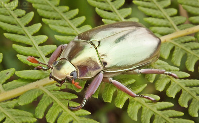 Golden jewel scarab (Chrysina sp.)