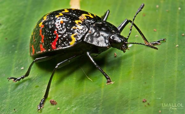 Zigzag beetle (Erotylus incomparabilis)
