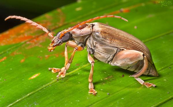 Speciomerus sp.