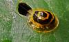 Target tortoise beetle (Ischnocodia annulus)