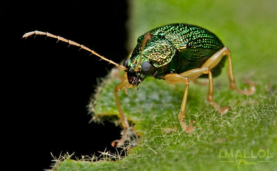 Green metallic leaf beetle (Chrysomelidae)