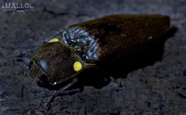 Bioluminescent click beetle (Pyrophorus noctilucus)