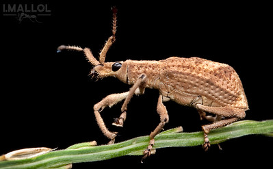 Sprig walking weevil