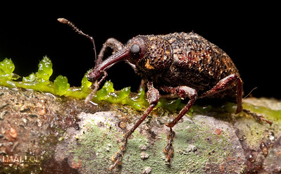Weevil & mosses