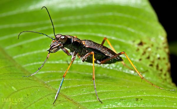 Tiger beetle (Odontocheila cayenensis)