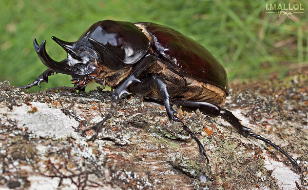 Rhinoceros beetle (Megasoma actaeon)