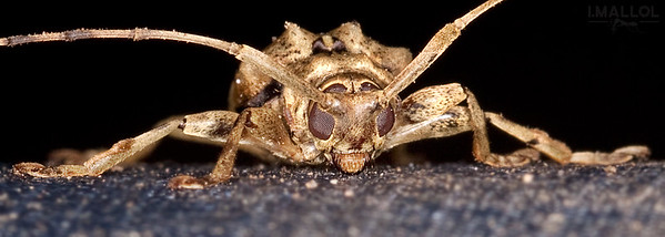 Demon face beetle