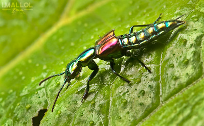 """Disco"" rove beetle (Staphylinidae)"