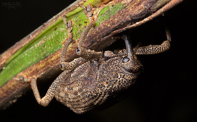 Weevil at work