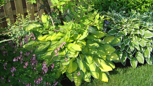 Hostas and Bleeding Hearts