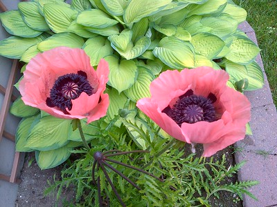 Poppies and Hostas