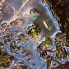 Darwin's Frog (Melimoyu)
