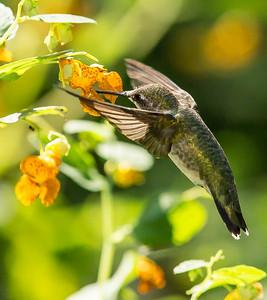 Colibri, Hummingbird.