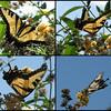 20110825Swallowtail