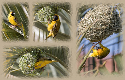 Yellow Weaver building  two nests