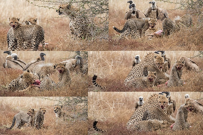 Cheetah Kill Collage