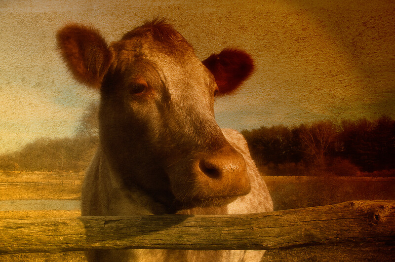 Cow, Old Bethpage Village, Long Island, Nassau County, New York