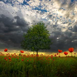 The Green Tree | Beautiful Tree Surrounded by Field of Dutch Poppy Flowers under Paradise of Inspirational Colorsful Morning Sky of Holland Nature in the Netherlands