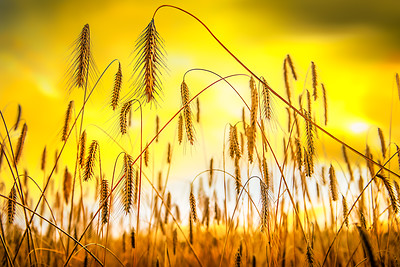 Golden Rain | Spelt Wheat Harvest Time Food for Beer and Bread at Sunny Summer Sunset