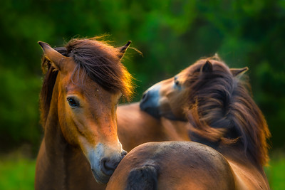 Soulmates | Two Beautiful Exmoor Ponies Wild Horse Maashorst Dreams Inspiration Love Future Art Nature Life Quotes