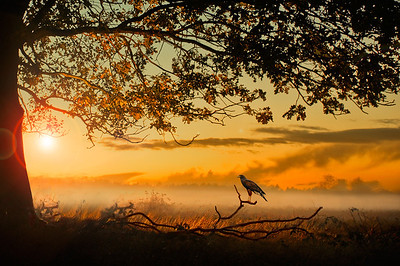 Arena | Sparrowhawk waiting for Prey in Sunny Backlit Misty Morning Field at Dawn