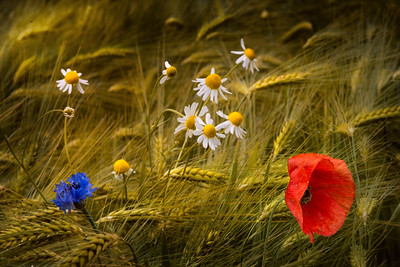 Pretty Wild Bouquet Countryside Flowers | Land of Barley Colorful Feast of Bread and Beer Gerstenaren Klaproos Korenbloem Brabant Maashorst