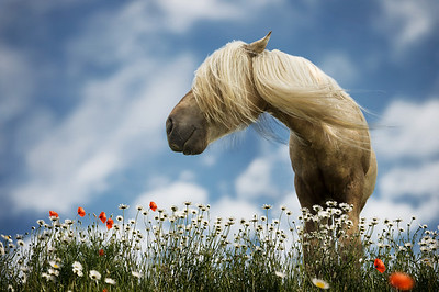 The Wind Whisperer | Spring Portrait of a Horse with Blonde Manes in Flower Field with Red Poppies and White Daisies