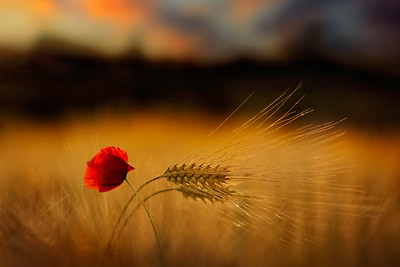 Longing | Beautiful Red Poppy in Wheat Field at Sunset