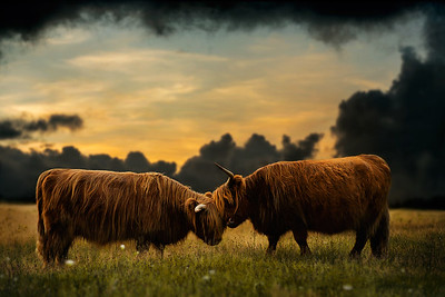 Tease to Please | Highland Cattle Cow Beef Schotse Hooglander Maashorst Natuurfotografie