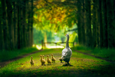 Beautiful Day | What day is it? It's today! My favorite Day! Quote and Inspirational Image with Goose Goslings as in a Fairytale of Winnie the Pooh can be used as Bookcover or Wallart Print