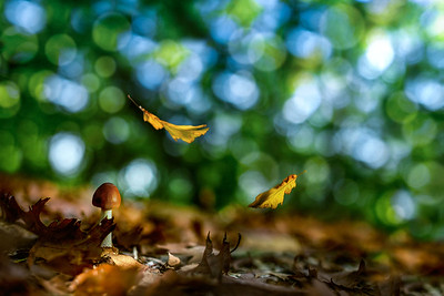 Touch of Autumn | Falling Autumn Oak Leaves Poetry in Motion Cep in Forest Paddestoel Herfstbos