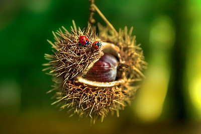 Spiky Love | Autumn with Ladybugs at Chestnut Bed of Nails