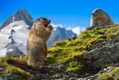 Buddies Forever | Two Marmots Mormeldier Murmeltier in Austrian Alps Eating Together Beautiful Scene Grossglockner Österreich Oesterreich Austria Mates Fellow Brothers in Arms Beautiful Nature Animals Wallpaper Art Prints